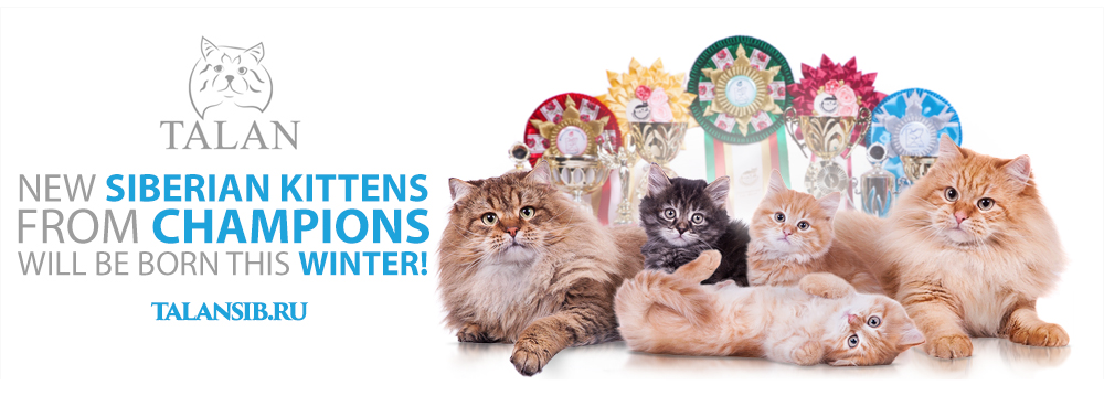 New Siberian kittens in the cattery Talan this winter!