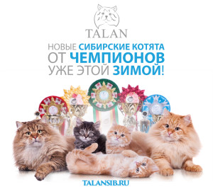 Новые сибирские котята в питомнике Талан уже этой зимой!